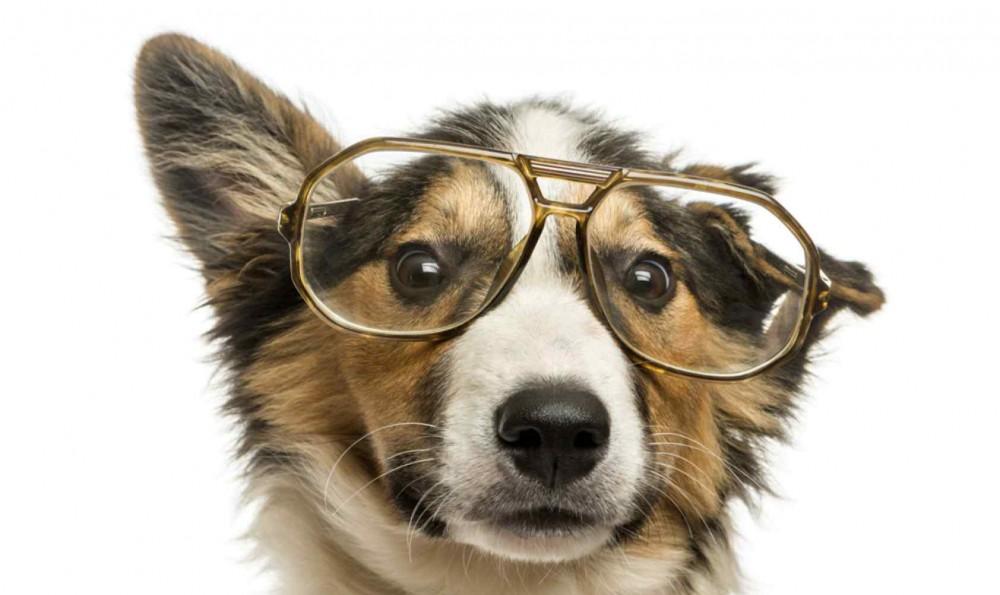 perro hiptster mascota pet orejas de punta